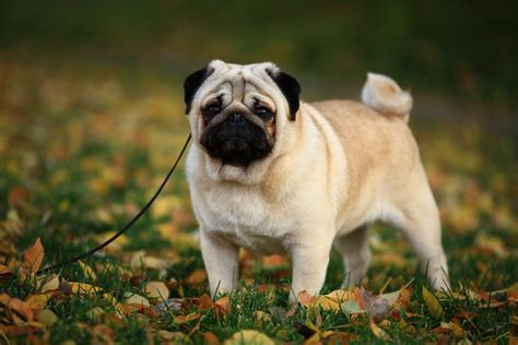 do pugs need a lot of exercise can you exercise a exercise dogs guide omlet uk