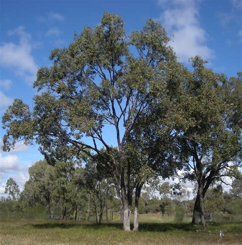 pictures of trees picture of the day eucalyptus tree