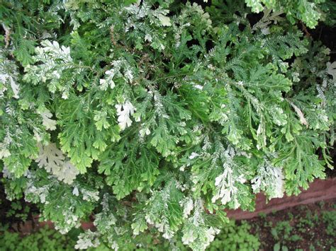 online plant guide selaginella species variegated club
