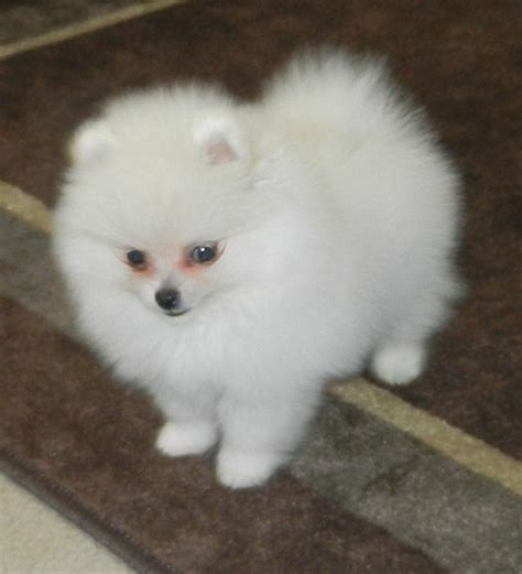 pomeranian for sale tx below are our exles of whites we produced here to give you an idea what our