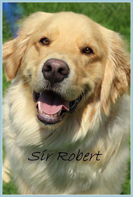 golden retriever puppies rescue ohio 17 best ideas about golden retrievers for adoption on