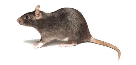 pci pied piper service for rat control