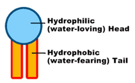 carbohydrates hydrophilic or hydrophobic organic macromolecules jeopardy template