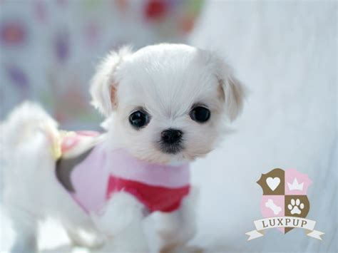 snowball puppy maltese snowball this puppy is so and small it looks like a stiffed