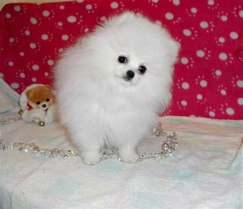 teacup pomeranian price white teacup pomeranian price
