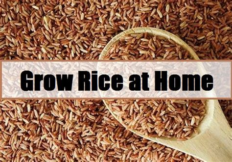 grow rice at home the prepared page