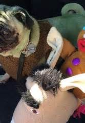 pug rescue nevada chumlee from history s pawn hosts fan lunches to benefit local charities this