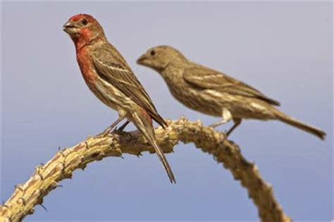 male and female house finch house finch male and female