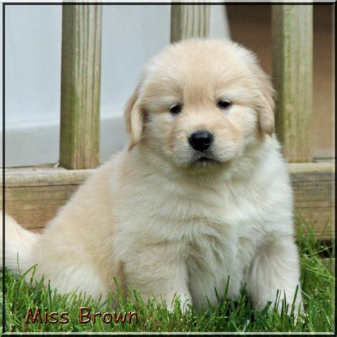 list of golden retriever breeders golden retriever breeders of tennessee quot check here for quality golden retriever