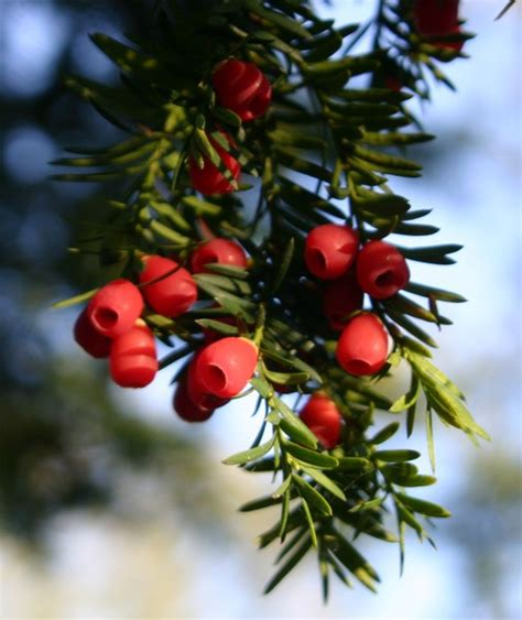 evergreen bushes with berries