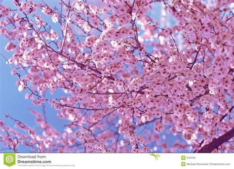 fiori di ciliegia fiori di ciliegia fotografia stock libera da diritti