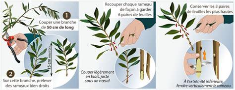 Faire Pousser Un Cerisier à Partir D Un Noyau by Comment Bouturer Un Olivier