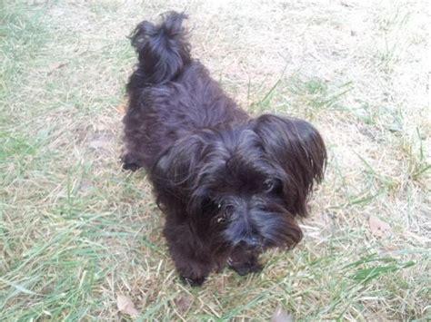 black maltese puppies black maltese