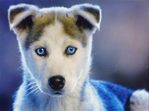 blue eyed puppies blue eyed puppy by serval on deviantart