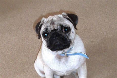 pug breed small breeds pug