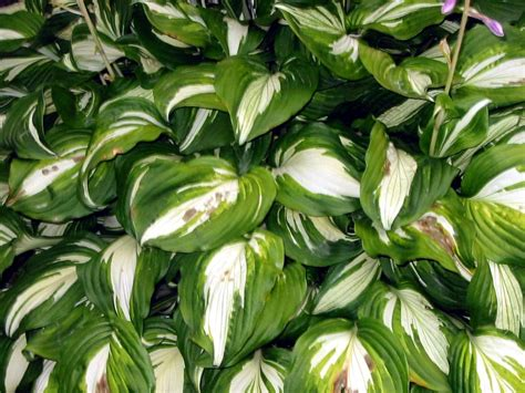 variegated hosta garden images femalecelebrity