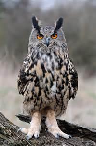 Eagle Owl Birds of Prey