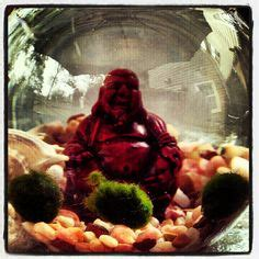 Medium Japanese Mossball 1000 images about marimo mer im o quot moss balls quot on