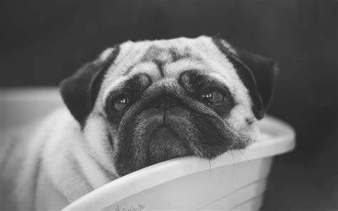 pug nets pug hd wallpapers