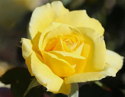 Home Design Ideas Canada by Mellow Yellow Rose Hybrid Tea Rose Yellow Rose