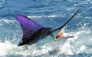 Guatemala offshore fishing adventures; saltwater fish species
