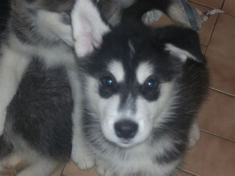 husky malamute puppies husky malamute puppies for sale leter ceredigion pets4homes