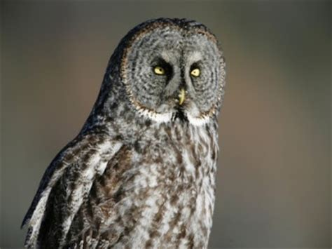 owls of british columbia my hd animals