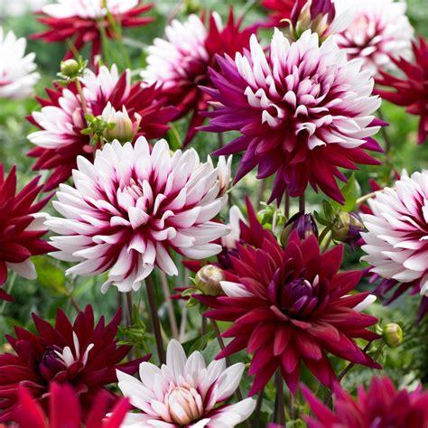 Set Dahlia zyverden dahlias s world bulbs set of 5
