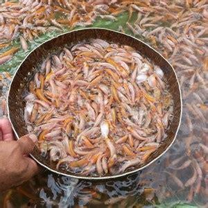 Benih Ikan Nila Per Kg jual benih ikan nila merah harga murah sukabumi oleh pt jaya perkasa agrocultur