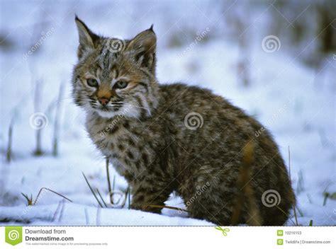 Wild Bobcats In Snow   www.pixshark.com   Images Galleries