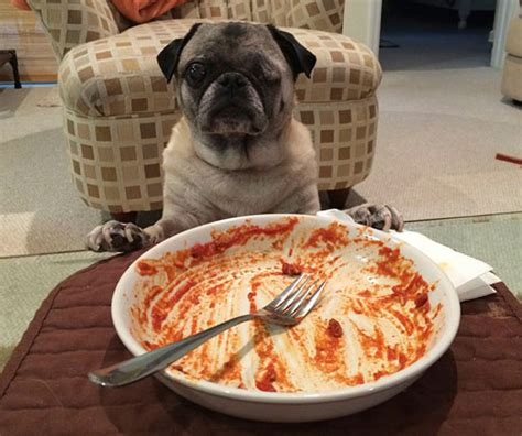 how much does a pug eat the pug owned by pugs