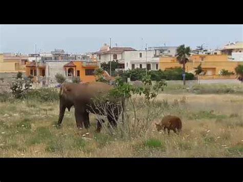il giro della trottola il salto canguro testo maglie come marrakech cammelli in fuga nella zona arti