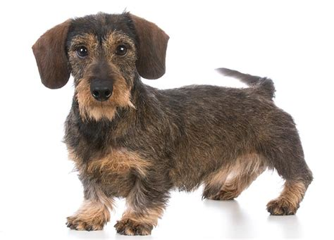 Haired Dachshund Shed by Wire Haired Dogs Breeds Picture