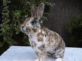 mini rex rabbit colors mini rex bunnybunnybunny