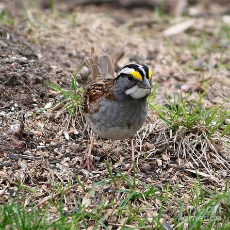 yellow crowned sparrow photograph by lori tordsen