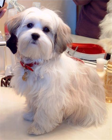 malshi puppies image gallery malshi haircuts