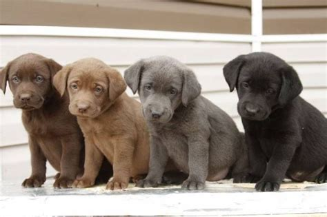 colors of labs chocolate lab puppies search animals