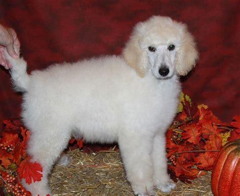 standard parti poodle puppies for sale standard parti poodle puppies for sale breeders renowned poodlesrenowned poodles