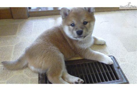 shiba inu puppies nyc shiba inu puppy for sale near syracuse new york d73957f8 9801