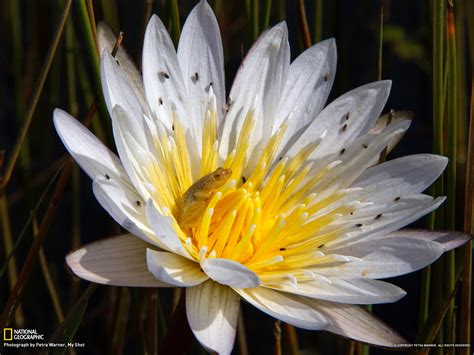 flower wallpaper national geographic reed frog picture flower wallpaper national geographic