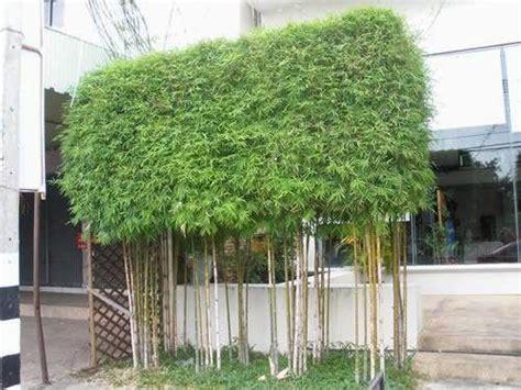 piante da vaso esterne coltivazione pianta di bamb 249 phyllostachys aurea in vaso