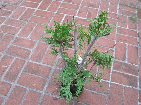 western red cedar bonsai www pixshark com images