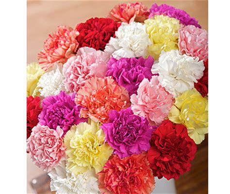 carnation color carnations flowers different carnation colors and their