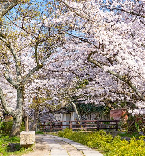cherry blossom festival three destinations with cherry blossom festivals ifly