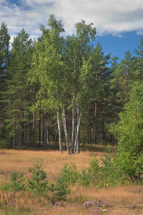 birch tree rubber st photo 461 17 birch trees on a meadow near kanneliarvi 40