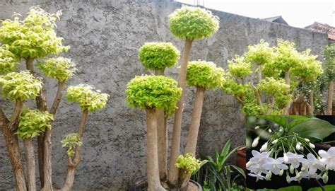 Anting Bunga Melati cara menanam budidaya tanaman anting putri sebagai tanaman hias di rumah bagi pemula flora dan