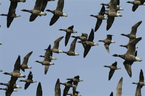 brent geese s migration route the rspb