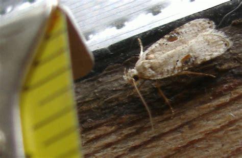 mediterranean flour moth possibly whats  bug