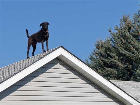 dog on a roof ch 250 ch 243 th 237 ch sống tr 234 n n 243 c nh 224 chỉ chịu xuống khi bị dụ