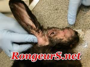 rongeur ss net maladies abc 232 s de l oreille chez le lapin